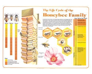 Life Cycle of the Honeybee – Chart